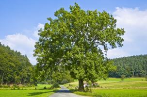 Дерево Ясень