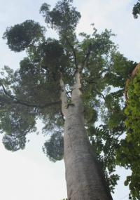 Дерево Альстония Емиен