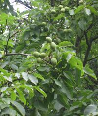 Листья и плоды грецкого ореха